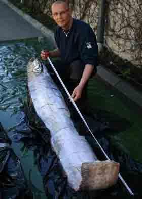 """瑞典发现传说中的大海蛇""""鲱王皇带鱼"""""""